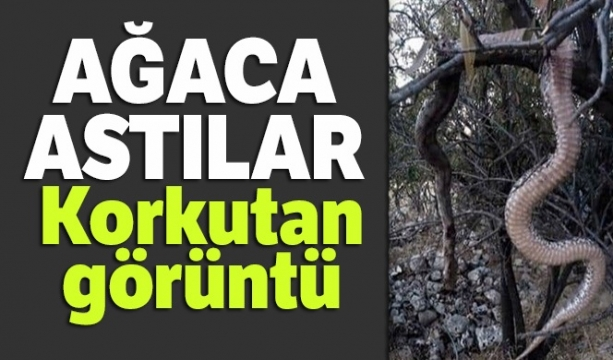 Elazığ'da Dev yılanı öldürüp ağaca astılar