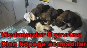 Vicdansızlar 6 yavrusu olan köpeğe acımadılar