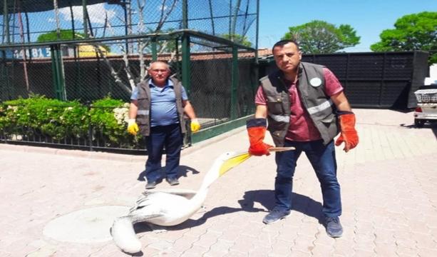 Konya'da yarılı pelikan koruma altına alındı